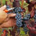 Vendemmia 2015. La Uimec Trapani chiede un prezzo minimo per le uve a tutela dei viticoltori